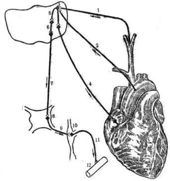 и регуляции артериального